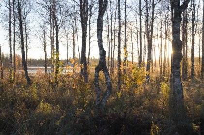 Kuusamojärven Somostenperän rantakoivikko kylpee auringonnousun valossa.
